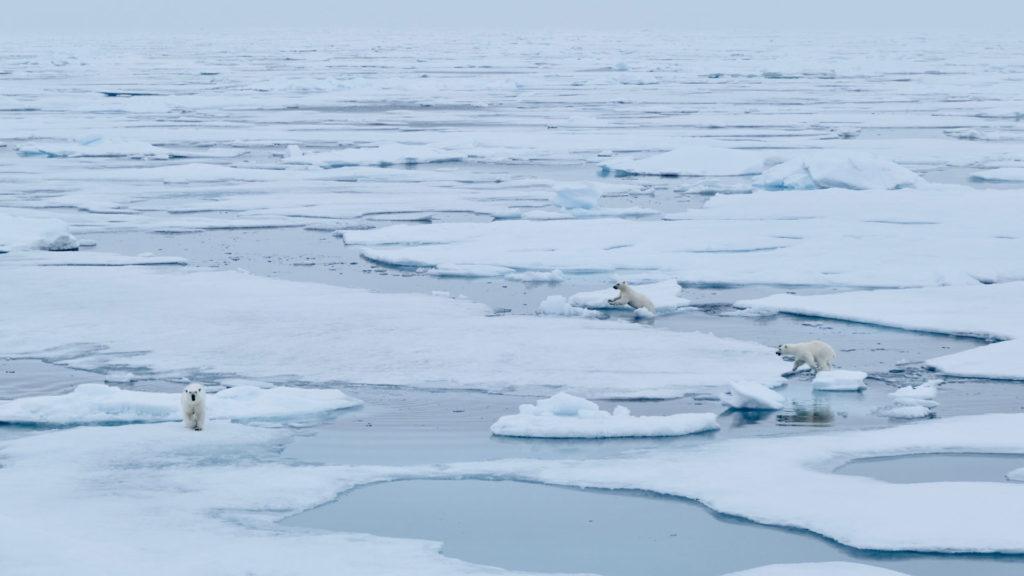 Recognice_sea_ice_polar_bears